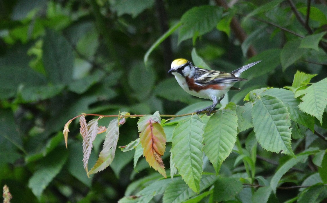 Chesnut-sided Warbler