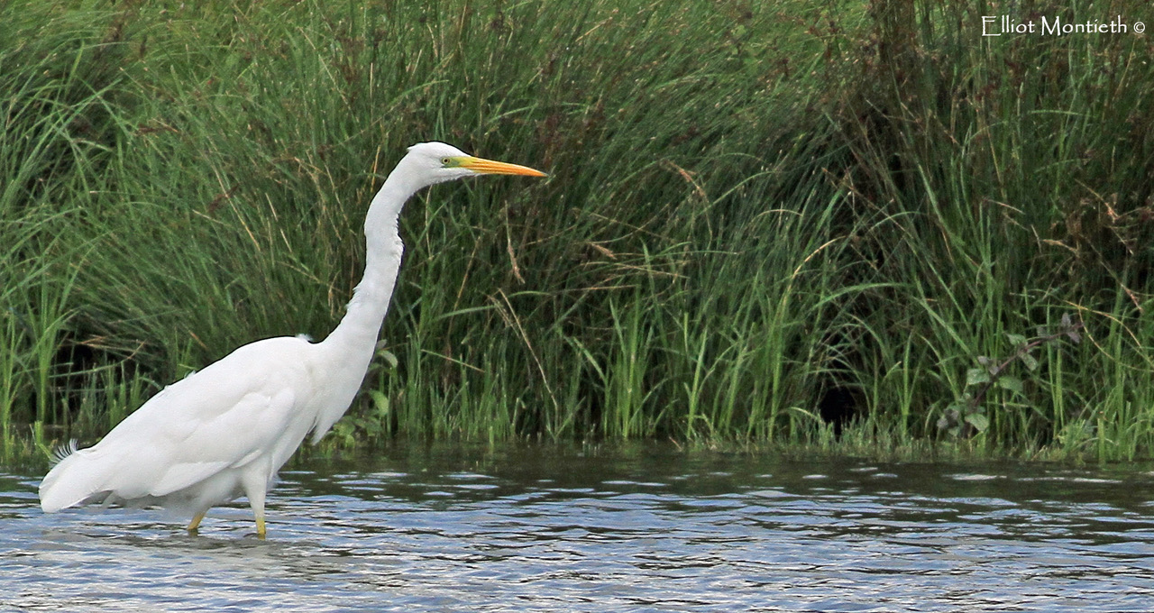 Great Egret at Rutland Water