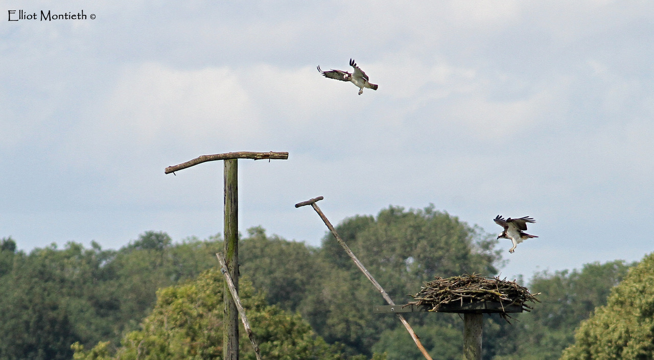 Western Ospreys at Rutland Water