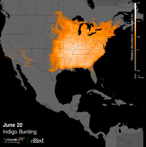visualised distribution of Indigo Bunting