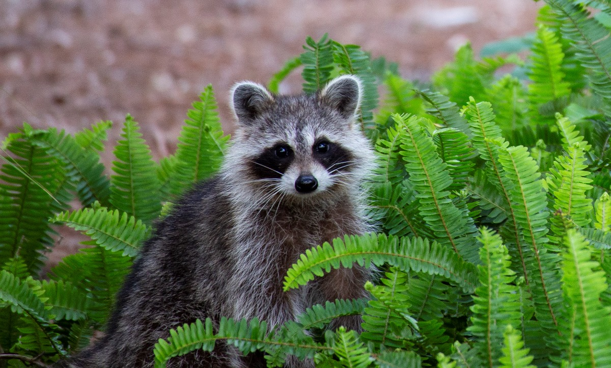 1st Margaret Fykes - Raccoon