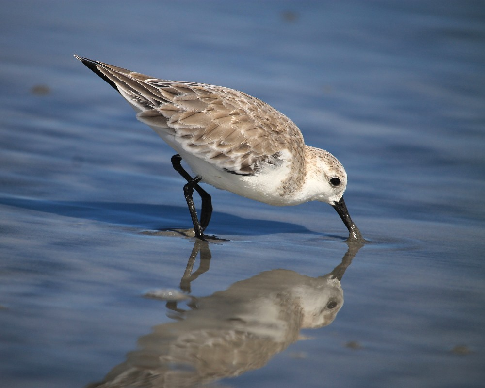 Reflection shorebird