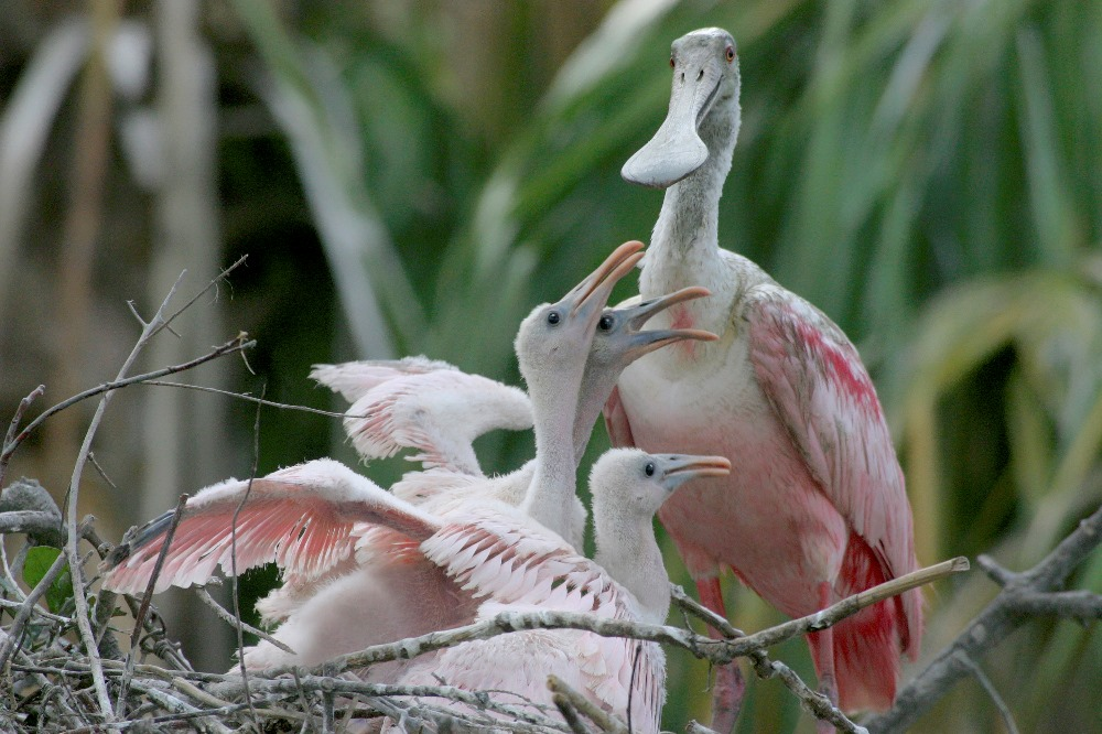 Roseate Spoonbill feeding her young