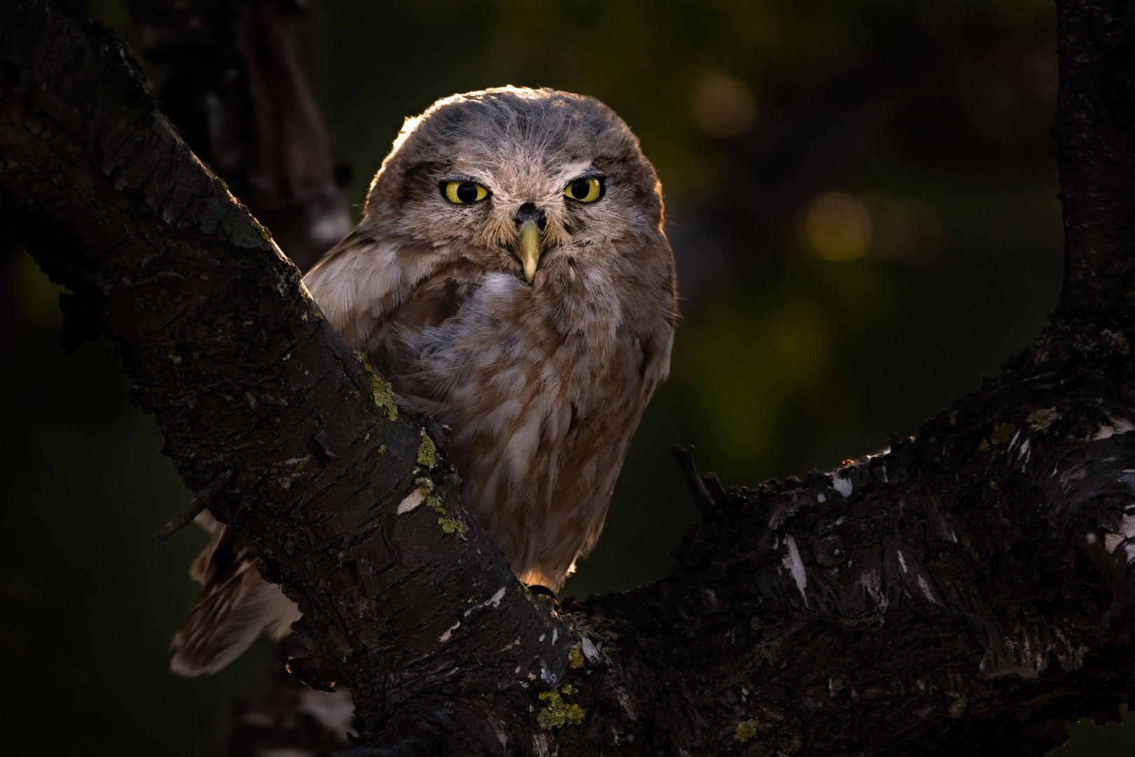 Little Owl focused at a potential meal by Ariel Fields