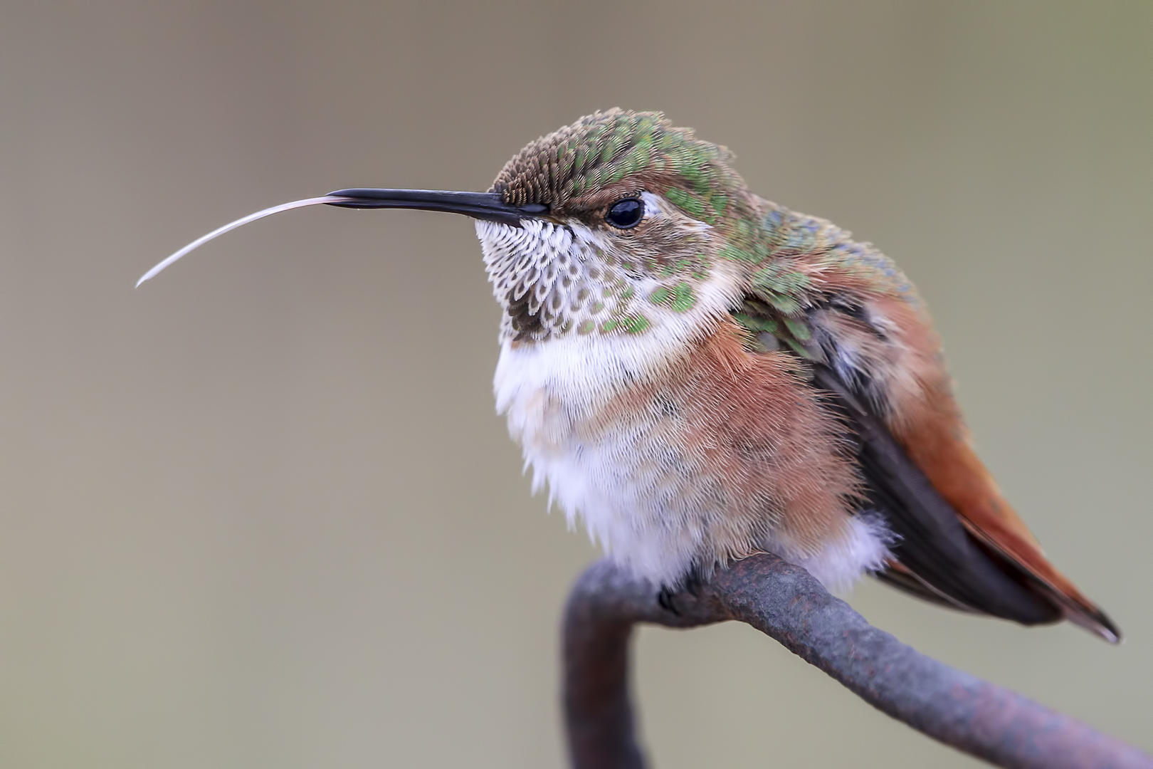Tongue of the Hummingbird by Madeline Nolan