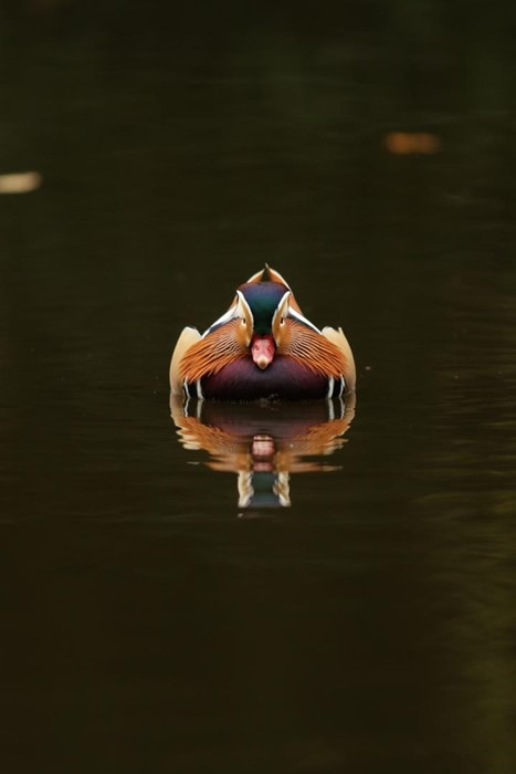 Mandarin Duck reflection - Photo: Tommy Saunders
