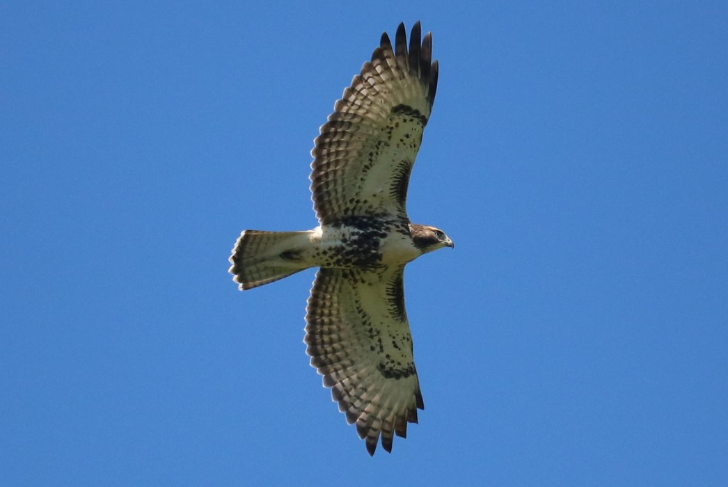 Red Tailed Hawk Underside in Fight: Photo: Hassan Aljafar