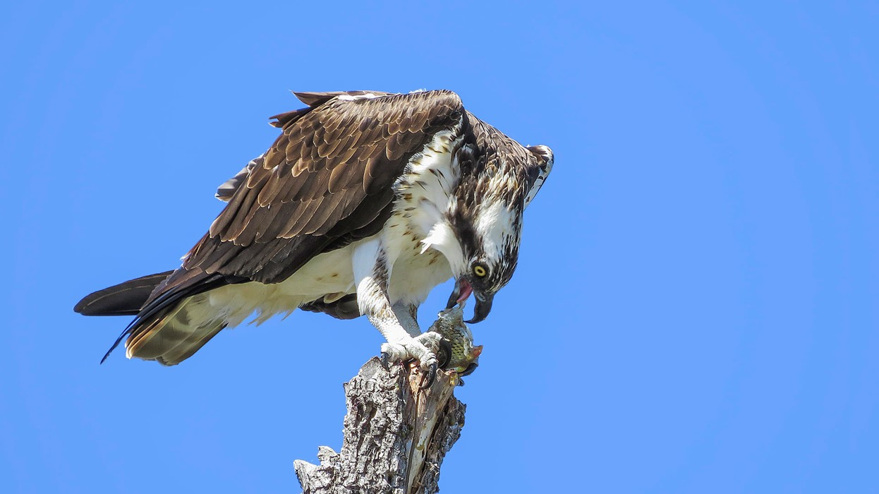 Osprey with Fish - Maddie Nolan