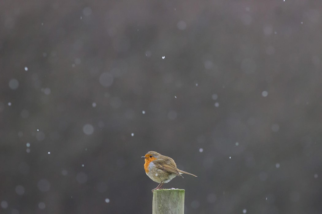 Robin in Snow Shower -Mya Bambrick