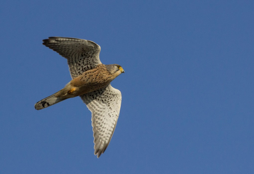 Kestrel in flight - Mya Bambrick