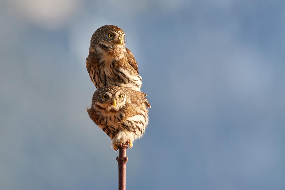Northern Pygmy Owls Mating by Josiah Launstein