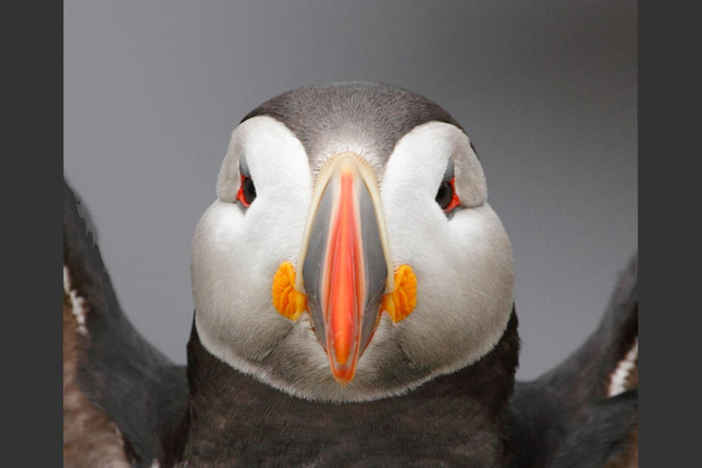 Icelandic Puffin by James Welch