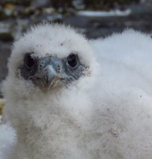 Peregrine Falcon Chick at Winchester Cathedral