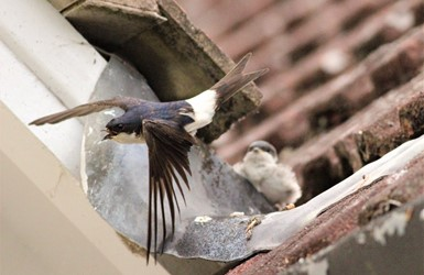 House Martin and Chick