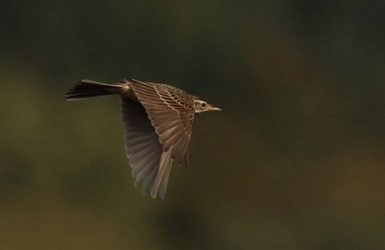 Richards Pipit
