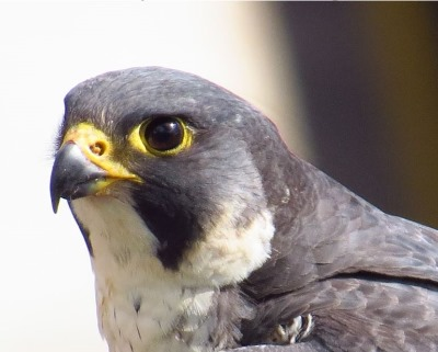 Return Of The Red Kite And Peregrine Falcon